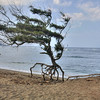 NOV 17 2012 The walking tree, Maybe out jogging. Have a fun weekend. Little of Hawaii