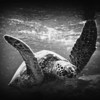 Hawaiian Green Sea Turtle in B&W. B&W PHOTO ART